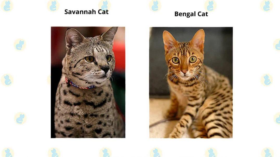 Savannah Cat VS. Bengal Cat